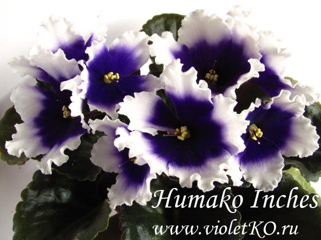 Humako-Inches