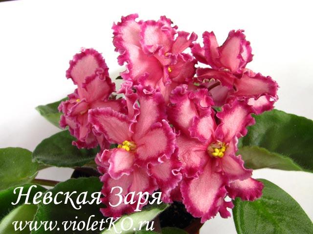 Невская-Заря